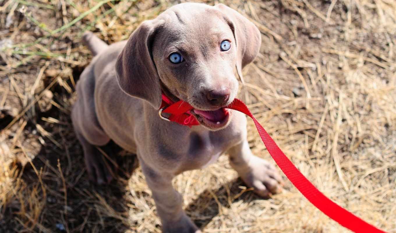 поводок, щенок, собака, глаза, взгляд, картинка, собаки,
