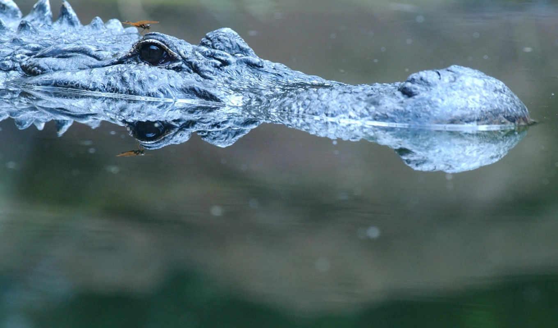 животные, крокодил, небесный, картинка,