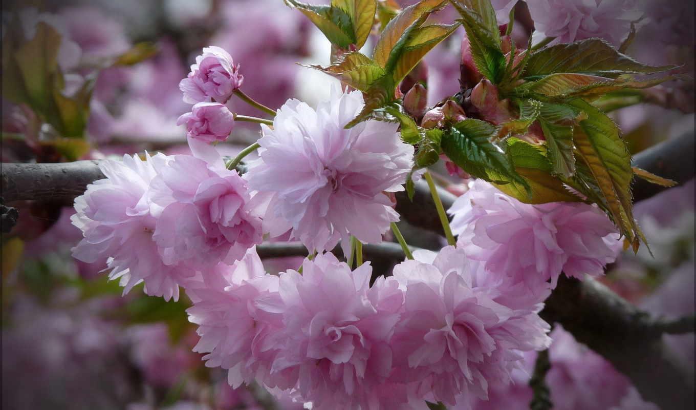 розовые, цветы, ветка, листья,