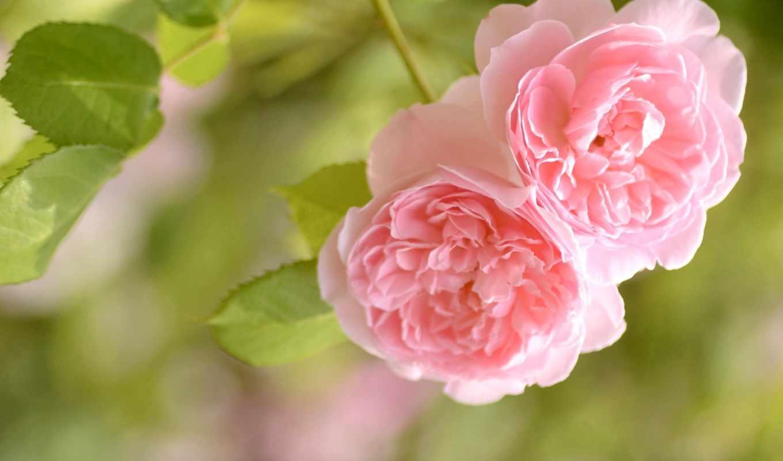 розовый, roses, нежность, you, love, cvety,
