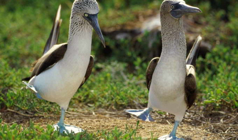 голубоногая, птица, олуша, голубыми, лапами, принадлежащая, морская, семейству, птицы, усердно, далее,