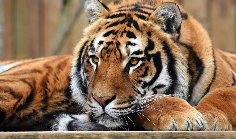 кошки, природа, лапы, тигр, дикие, portrait, zhivotnye, лежит, дикая, glaza, морда,