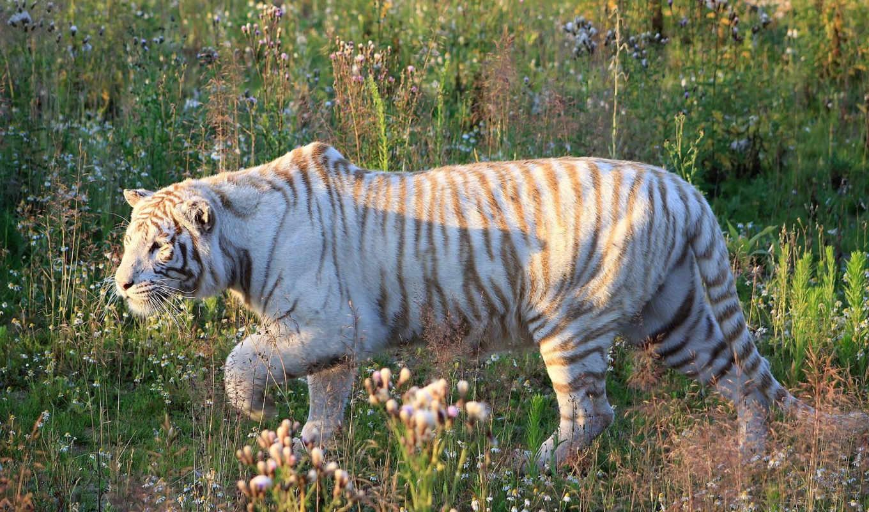 тигры, tigre, animal, france, белый, полосатый, хищник, животные,