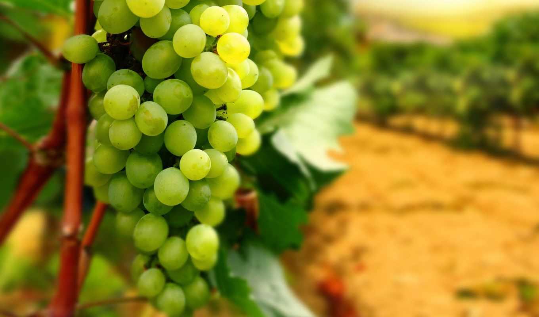 виноград, bunch, листья, высоком,