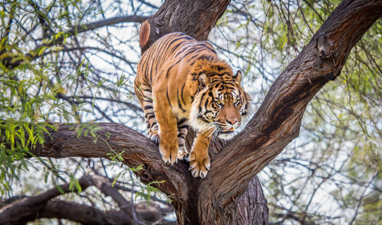 тигр, против, тигра, картинка, тигров, водопое, медведь, тигры, добычу,