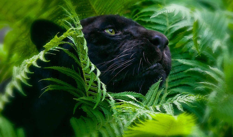 пантера, кот, дикая, черная, black,