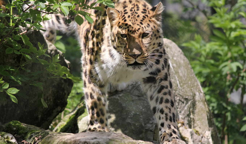леопард, морда, дальневосточный, pardus, panthera,