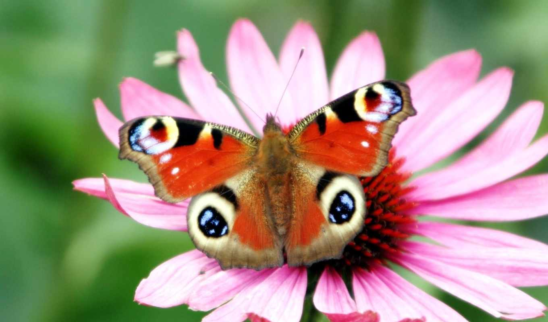 цветы, android, бабочка, peacock, flowers, desktop,
