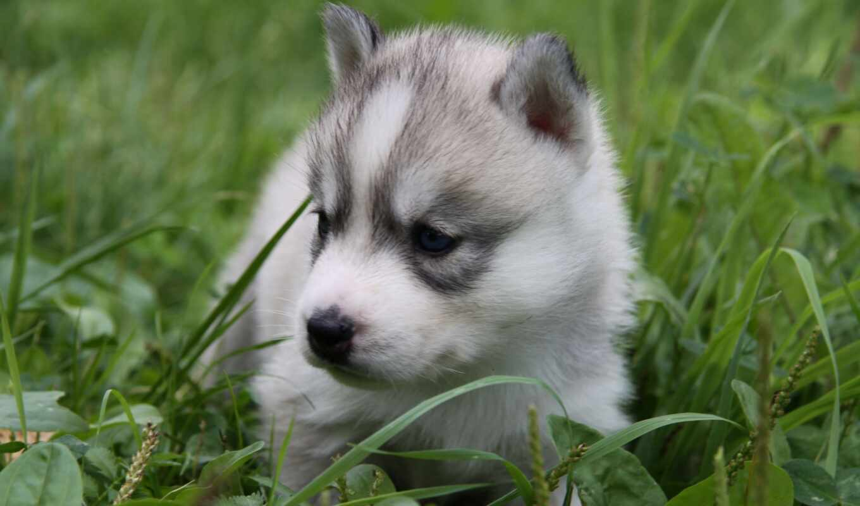 хаски, трава, щенок, little, глаз, blue, собака, хаска