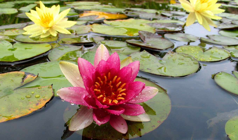 water, wallpaper, pond, lily, desktop, lilies, wallpapers, кувшинки, пруду, цветы, hd,