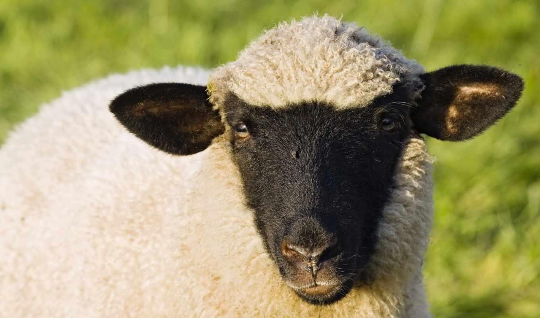 sheep, овцы, more, шаблоны, pocket, календарь, календарей, взгляд, год,