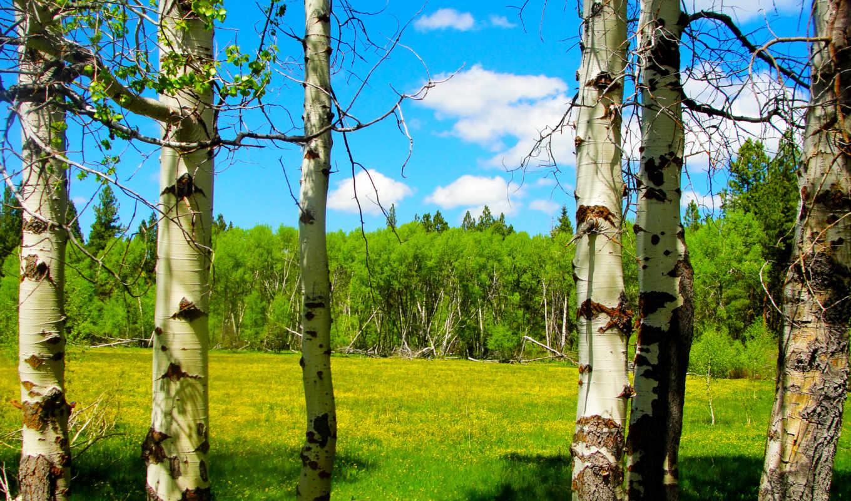 лес, цветы, деревья, весна, небо, облака, природа, луг, береза, usa, картинка,