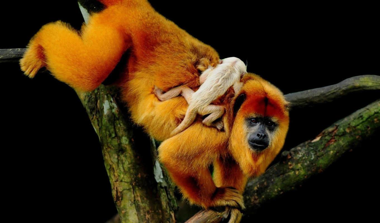 обезьяна, обезьяны, детёныш, zhivotnye, everything,