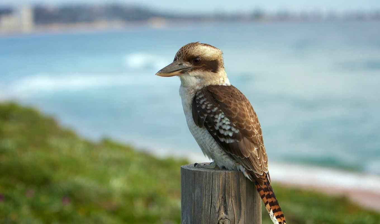 australian, laughing, jack, bullion, птица, kookaburra, австралия,