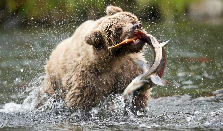 аляска, сша, река, русская, медведь, similar, животные, медведи,