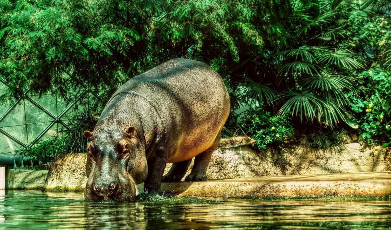 бегемот, water, гиппопотам, животные, графика, морда,