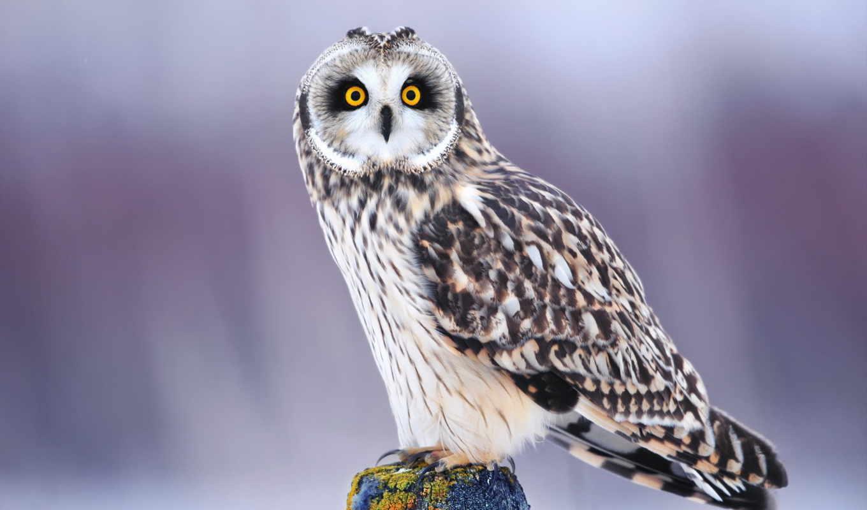 сова, птица, глаза, взгляд, winter, красивые,