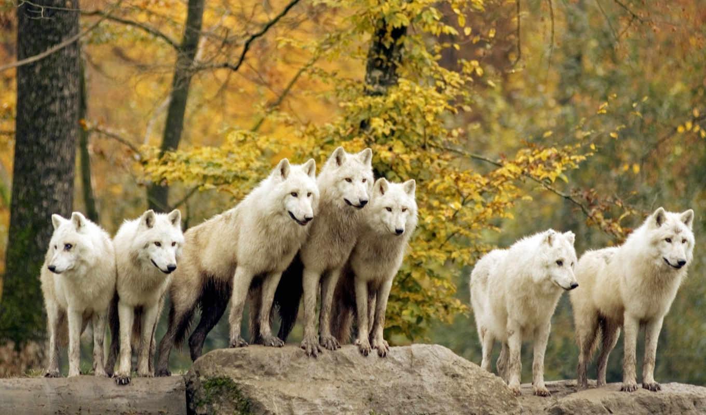 pack, волчья, волки,