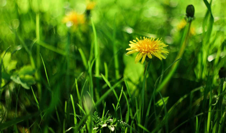 изображение, трава, одуванчик, зеленые,
