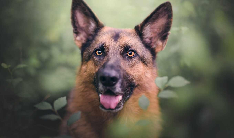 собака, german, овчарка, глаза, leaf, branch, язык, смотреть, природа, portrait