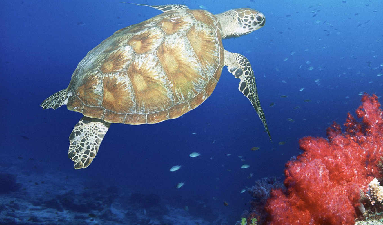 sea, coral, ocean, life, corals, green, deluxe, deep, reef, turtles, bidibidi, животных, malaysia, teknős, мир, zöld, tengeri, malajzia,