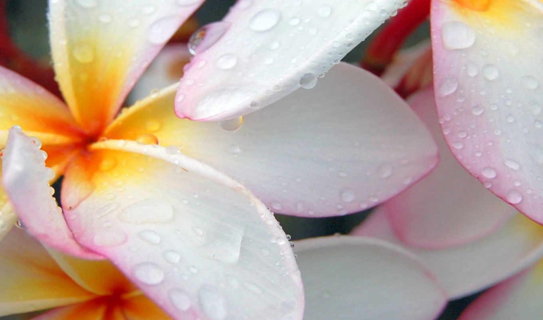 цветы, макро, капли, white, красивые,