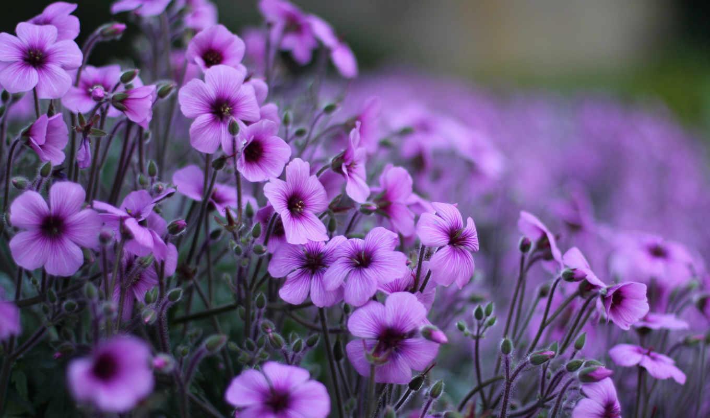 сиреневые, цветы, лепестки, поле,