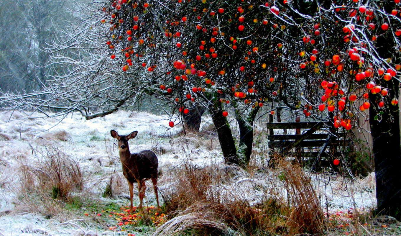 photos, deer, длинные, ветви, яблоки, природа, лес, деревья, трава, winter, снег, bursadabugun,