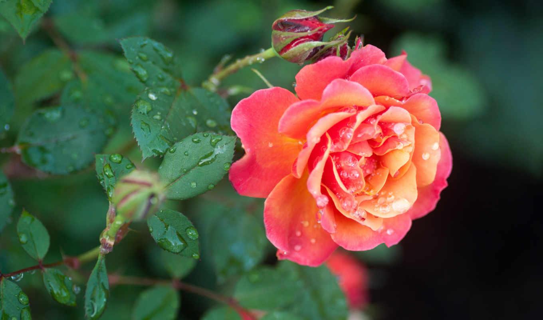 бутоны, листья, капли, роза, картинку, розы, правой, ней, кнопкой, мыши, выберите,