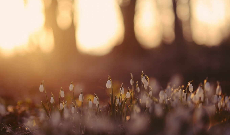 цветы, природа, подснежники, восход, лес,