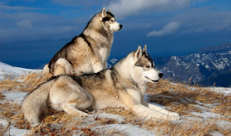 хаски, снег, собаки, лайка, горы, winter, ветер, гонки, подзадоривание,