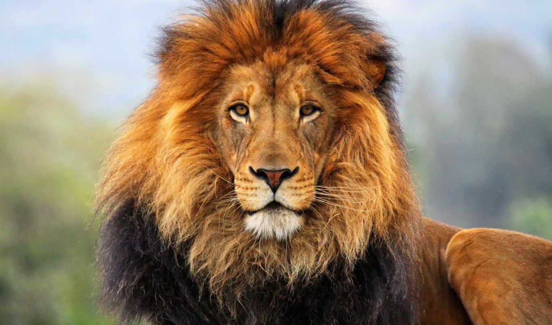 грива, морда, lion, взгляд,