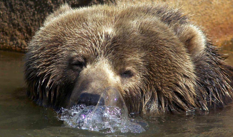 медведи, животные, бурые, гризли, медведь, water,