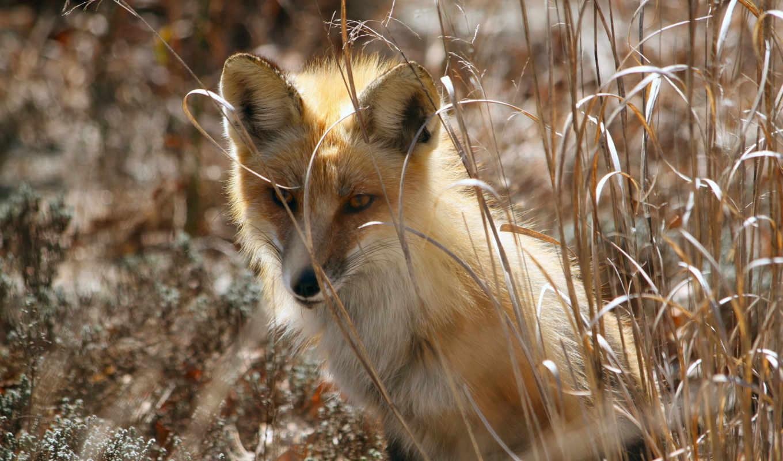 фокс, природа, весна, zhivotnye,