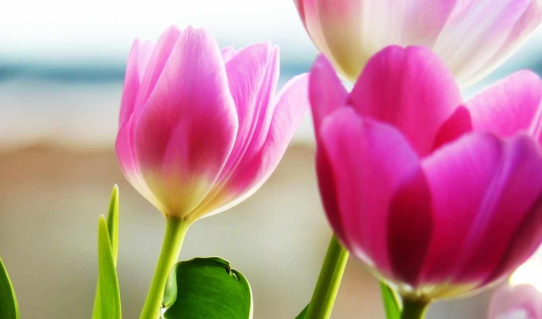 цветы, тюльпаны, букет, тюльпанов, весна, full, весенние,