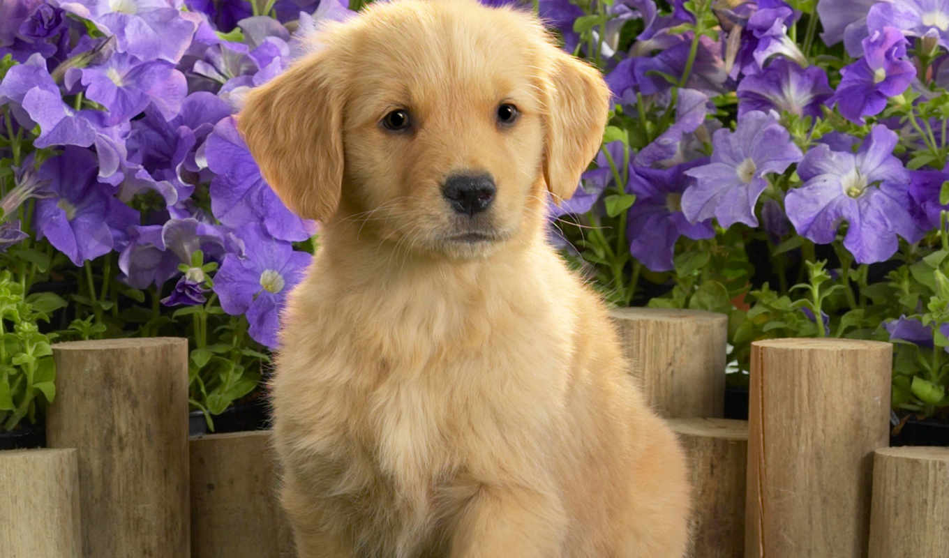 retriever, золотистый, labrador, puppies, щенок, cute, dogs,