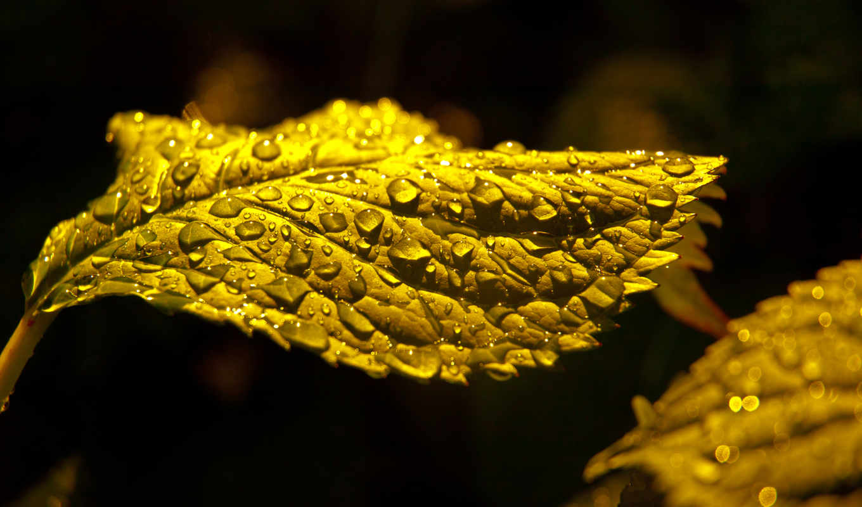 drop, листва,