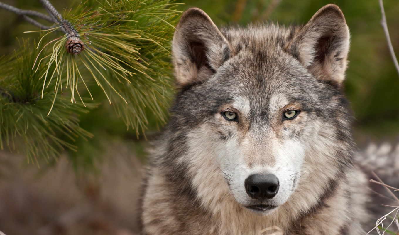 zhivotnye, волки, беларуси,