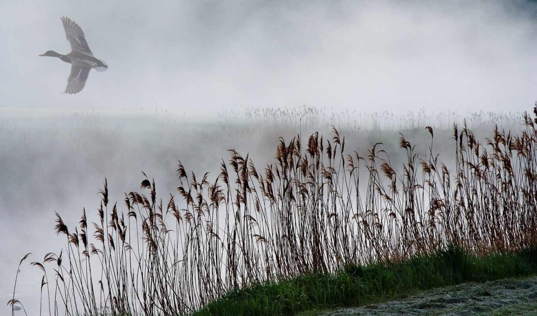 утка, озеро, туман, камыш
