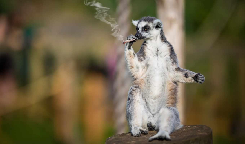страница, сидит, прикольные, смешные, разных, lemur, сигаретой, курит, приколы, самокрутка,