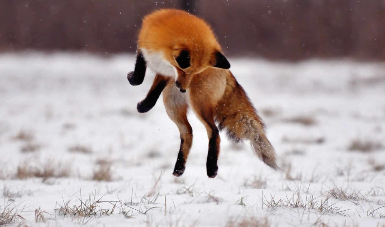 фокс, card, лис, лисы, яndex, фотоохота, снегом, коллекциях, фотографий, прыжке, со,