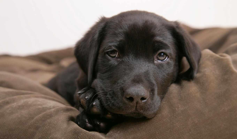собака, цитата, порода, labrador, щенок, name, product, надпись, назад, max