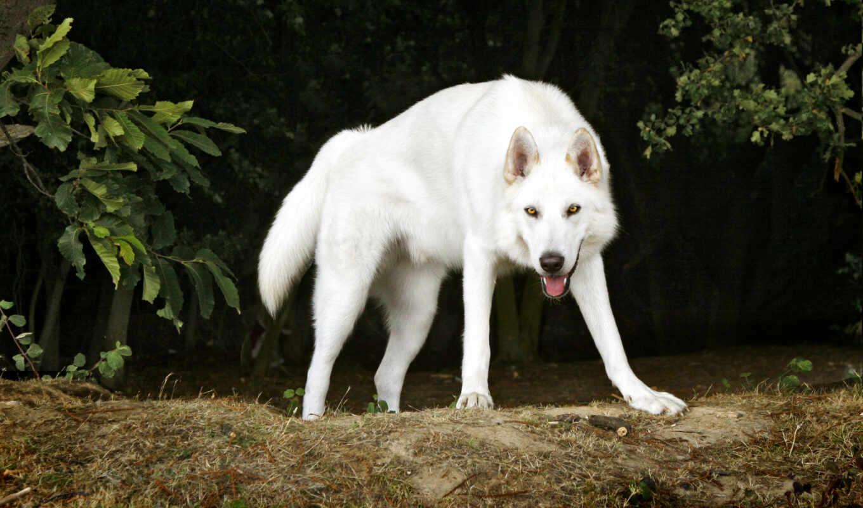 собака, порода, similar, волков, волк, хаска