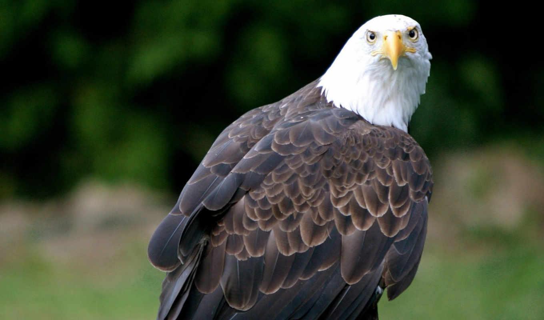 eagle, desktop, background, mtyyoty, mudryi, wallpapervault, eagles, image, birds,