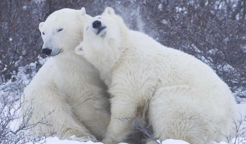 медведи, пара, медведь, полярные, снег, медведей,