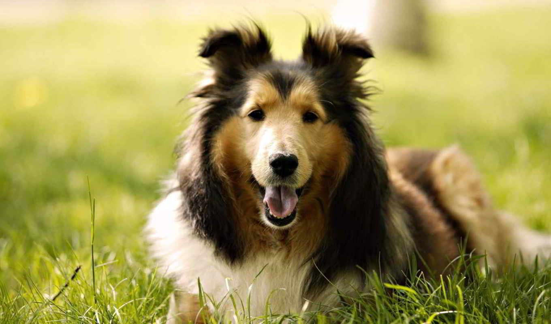 колли, собака, порода, собаки, зооклубе,