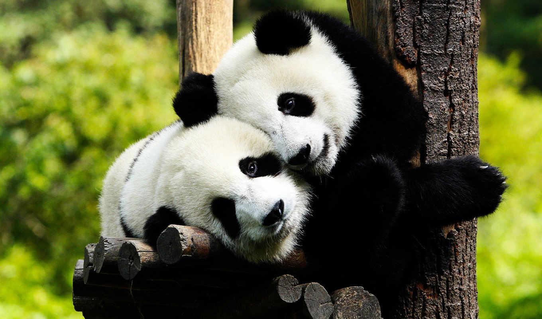 панда, панды,