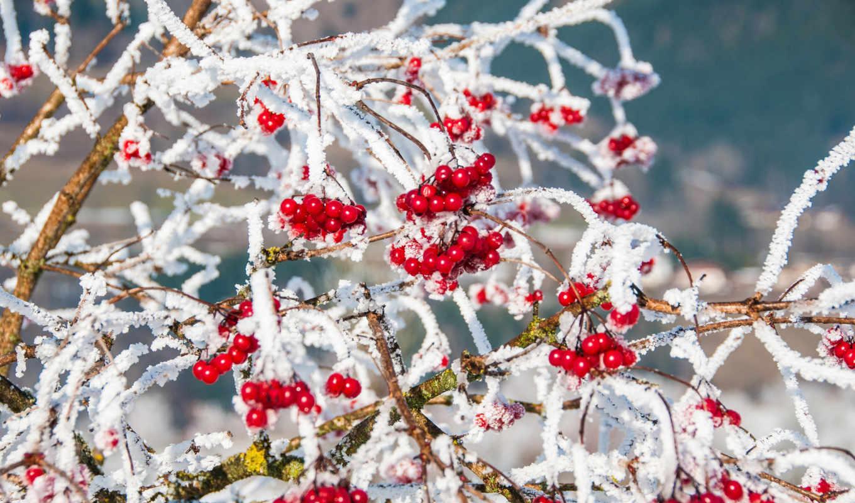 winter, ягоды, рябина, снег, красные, ветки, природа, зимой, нояб,