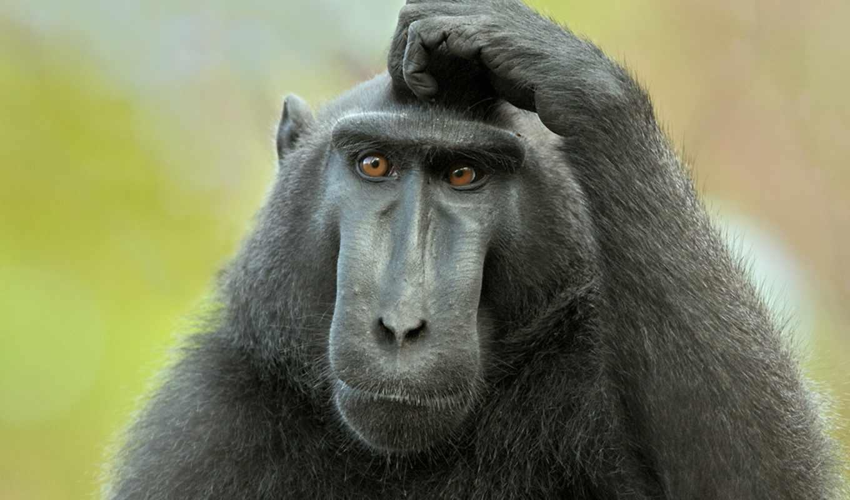 самых, животных, zhivotnye, macaca, которым, павиан, хохлатый, nigra, умных,