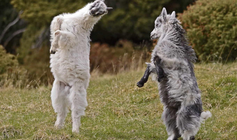 козел, goats, cute, pictures, images, best, pinterest,
